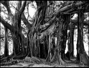 Paolo Morello - Ficus _5
